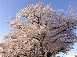 鈴鹿は桜が満開